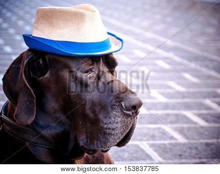 Great Dane with hat in the street