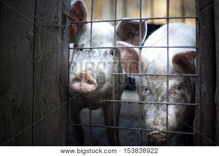 Two dirty pigs behind a wooden and metalic fence