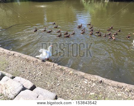 large white goose jumps into the pond in Audubon Park to swim with flock of whistling ducks
