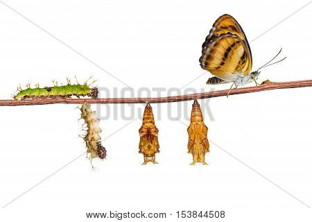 Isolated Life Cycle Of Colour Segeant Butterfly On White