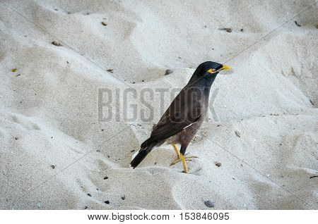 Typical Fijian bird in the sand in Mana Island Fiji