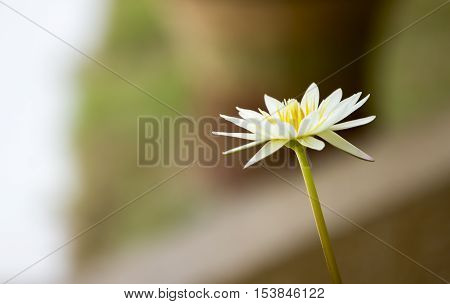 Soft Focus Lotus Flowers In Pond Background.
