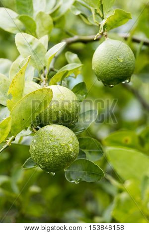 Fresh lemon fruit on tree in the morning. (select focus)