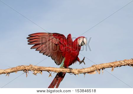 parrot macaw on blue sky in the morning.