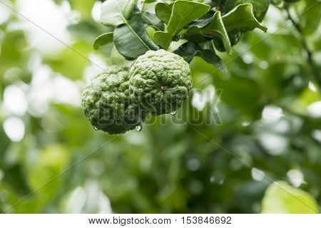 Bergamot on Tree in the morning agriculture