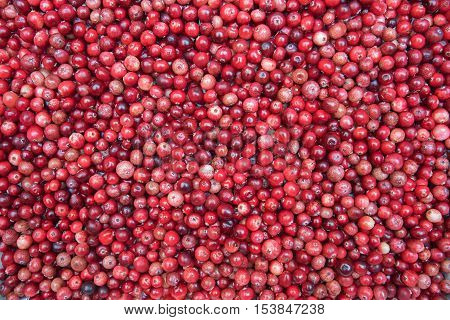 background of small european cranberries hand picked from the bogland