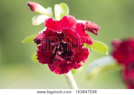 Floral desert rose flower on natural background.