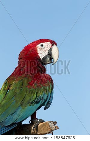 Face of parrot macaw on blue sky background.