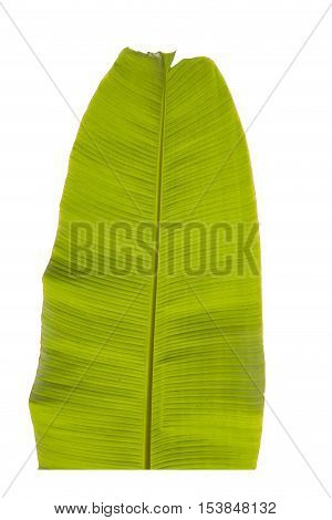 Green Banana leaf on a white background.