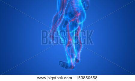 3D Illustration of Human Skeleton with Nervous System