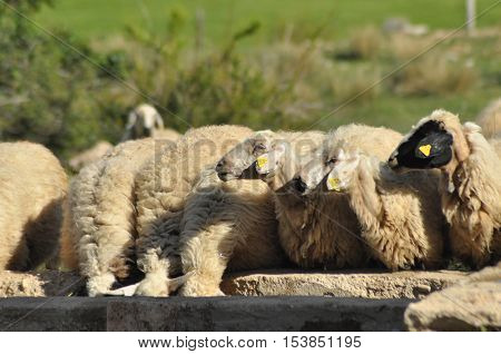 Spent with his flock of sheep grazing. Quenching thirst at the watering hole.