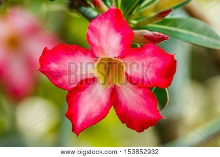 Close-up Impala Lily or desert rose or Mock Azalea