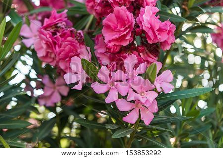 beautiful pink oleander flowers natural bouquet closeup