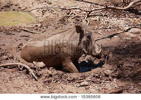 Wild Boar In Mud