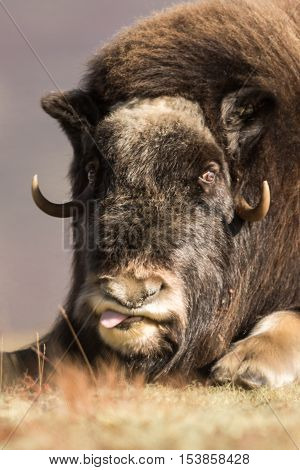Musk ox and mountains in Dovre Norway