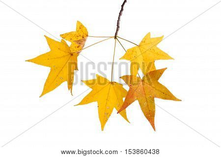 Single branch with yellow fall leaves of a sweetgum (Liquidambar styraciflua) isolated against a white backbround