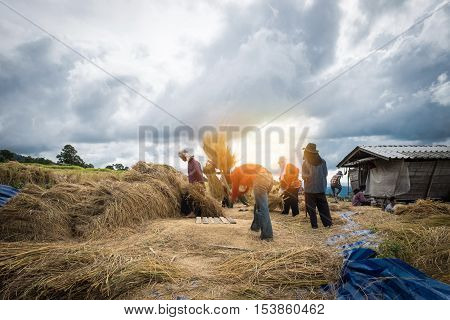 Motion of Farmers Rice grain threshing during harvest time in northern Thailand