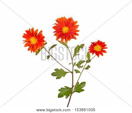 Single stem with three orange flowers of the hardy chrysanthemum (Chrysanthemum rubellum) isolated against a white background
