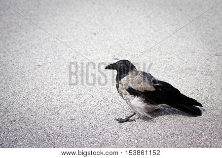 Fine example of a raven isolated on asphalt with copy sapce