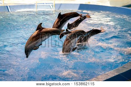 Group of dolphins in dolphinariums jumps out of the water while presenting.