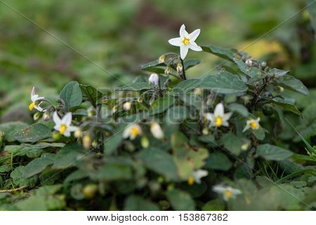 European black nightshade (Solanum nigrum) in flower. Short and toxic plant in the family Solanaceae flowering on limestone grassland at Brean Down Somerset UK