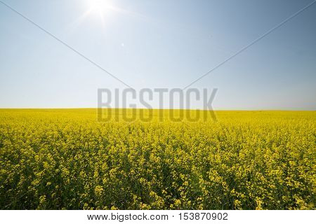 Yellow canola crop farm field with sun shining down