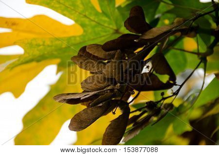 Seed Of Maple Hiding In Green And Yellow Foliage