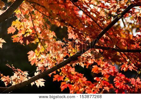 Contrast Between Branches And Leaves Of Sugar Maple