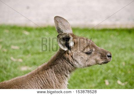this is a close up of a KI kangaroo