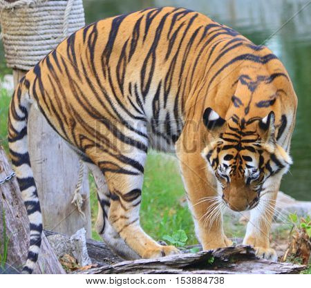 male Indochinese Tiger turning around next to a pond in Thailand