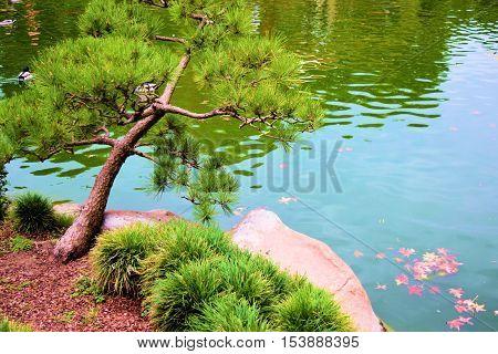Manicured Pine Tree beside a pond taken in a Zen Japanese Meditation Garden
