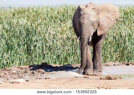 Bush Elephant Focusing On Slurping Up Some Water