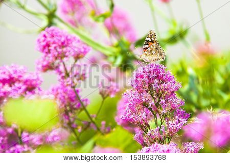 Butterfly machaon gently resting on a pink flower