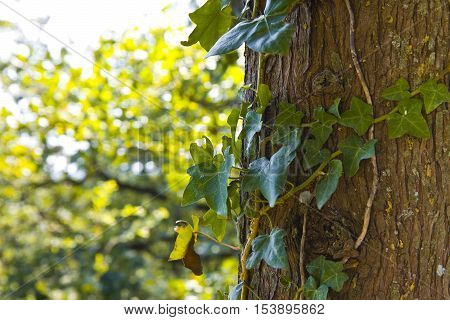 Green ivy on a tree trunk - image with copy space