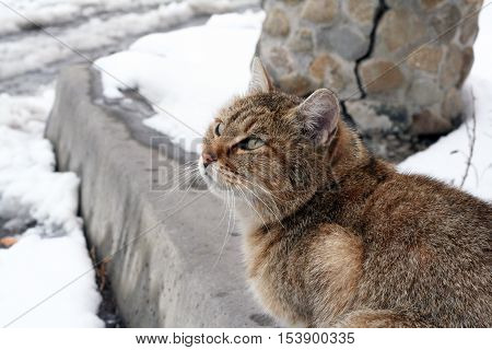 Cats outside in the winter. Tiger wild cat in the snow. Beautiful animals with us.