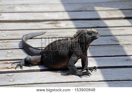 A Galapagos Marine Iguana walking, amblyrhynchus cristatus