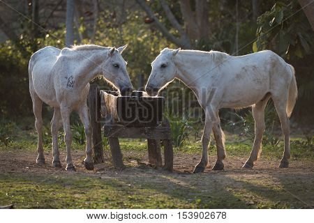 Two Backlit Horses Drinking From Water Trough
