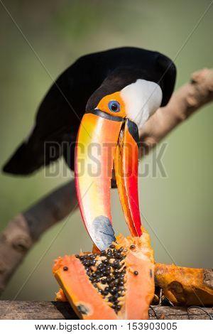 Toco Toucan Nibbling At Papaya In Sunshine