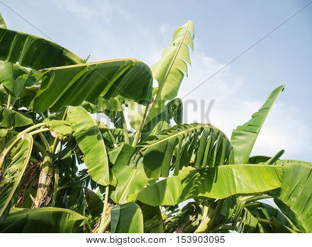 Banana tree plantation in fram with daylight and blu sky