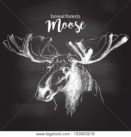 moose head with huge antlers sketch vector illustration isolated on white background. chalk drawing on the blackboard