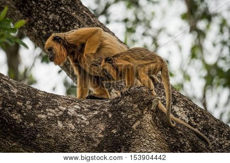 Mother And Baby Black Howler Monkeys Climbing
