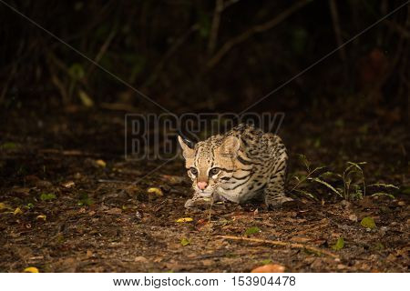 Ocelot Crouching At Night Looking For Food