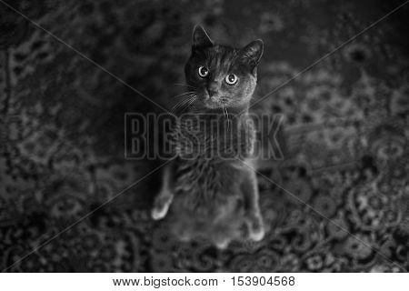Chartreux cat standing on a legs and looking to me.