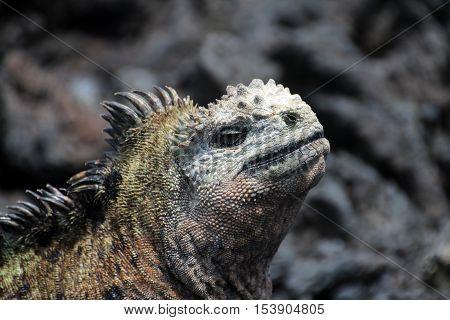 A Galapagos Marine Iguana head, amblyrhynchus cristatus