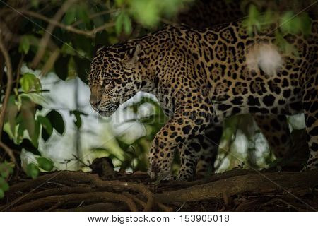 Jaguar Prowling Through Forest Framed By Leaves