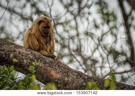Black Howler Monkey Looking Down On Branch