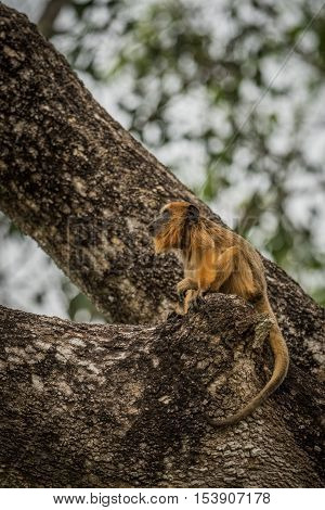 Baby Black Howler Monkey Looking Up Tree