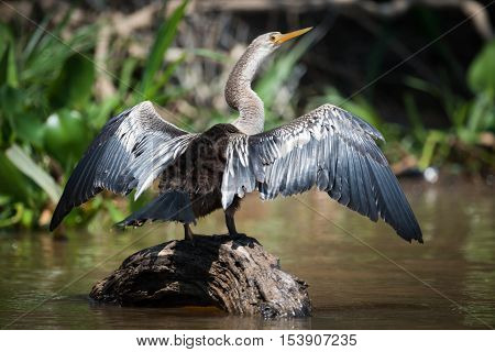 Anhinga Spreading Wings On Rock In River