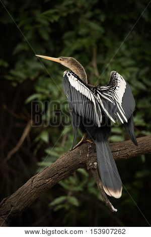 Anhinga Perched On Dead Branch Stretching Wings