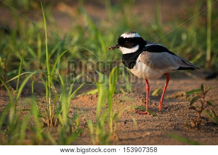 Pied Plover Walking Through Grass On Beach